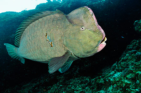 Green Humphead Parrotfish Bolbometopon Muricatum Picture