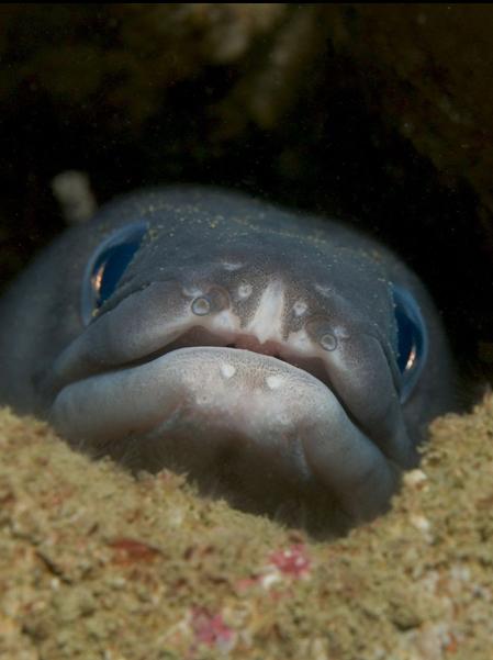 Conger Eel Bathycongrus Thysanochilus Picture Uk