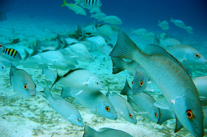 gray snapper fish lutjanus griseus picture mexico