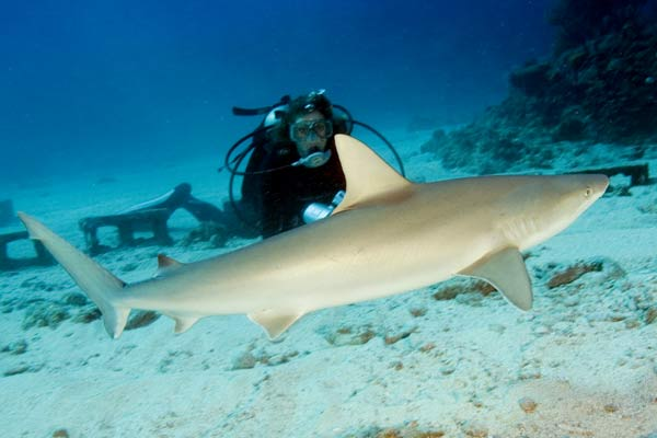 blacknose shark carcharhinus acronotus picture sharks
