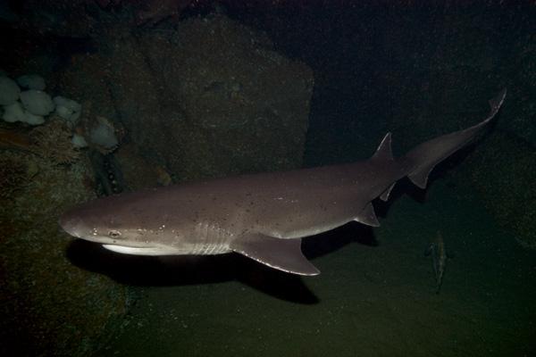 Broadnose Sevengill Shark Notorynchus cepedianusBroadnose Sevengill Shark