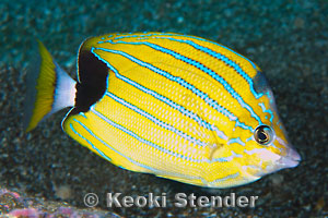 Share your Info on striped butterfly fish share