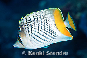 Pearlscale butterflyfish (Chaetodon xanthurus) picture ...