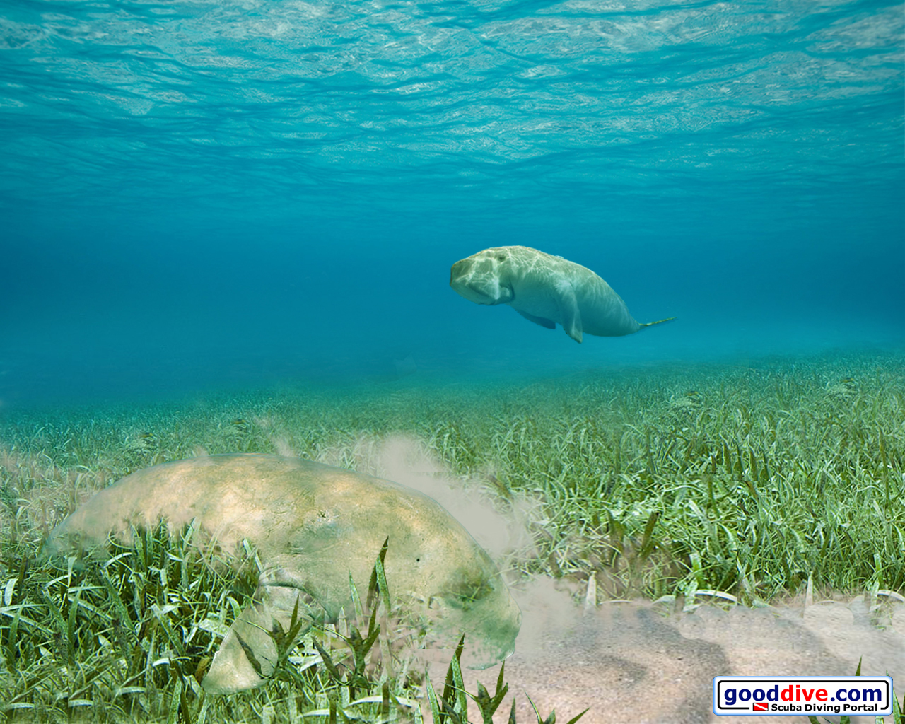 Wallpaper Dugongs 1280 x 1024
