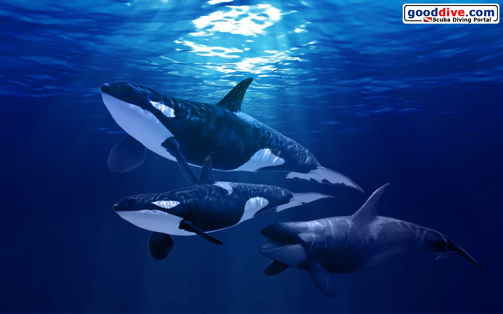 wallpaper orca16801050 gooddivecom