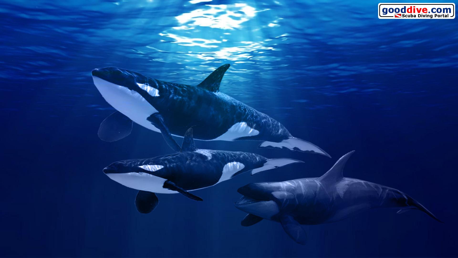 wallpaper orca 1920 1080