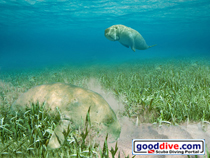 Wallpaper Dugongs