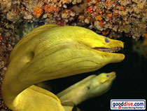 Wallpaper Green Moray Eel