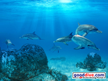 Wallpaper Spotted Dolphins