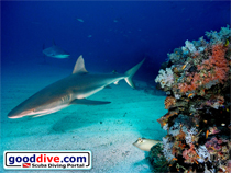 Wallpaper Reef Sharks