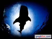 Wallpaper Whale Shark